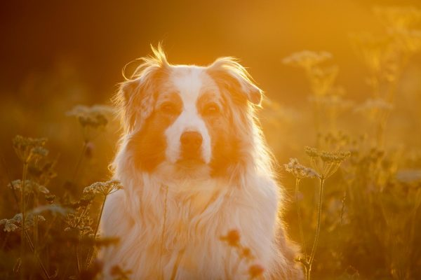 Hund, Hundeshooting, Aussie, Australien Shepherd, Sonnenuntergang, Bodensee, Überlingen, Sipplingen, Schönach, Herdwangen - Schönach, Spießhof, Pensuin Spießhof, Janina Sanwald Fotografie