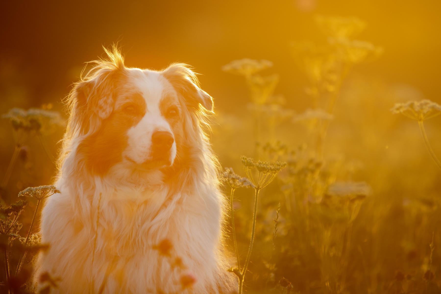 Aussie, Australien Shepherd, Hundebild, Hundeshooting, Sonnenuntergang, Sonnenuntergangsshooting, Abendshooting, Shooting am Abend, Dog, Dogpicture, Spießhof, Herdwangen - Schönach, Schönach, Herdwangen, Überlingen, Sipplingen