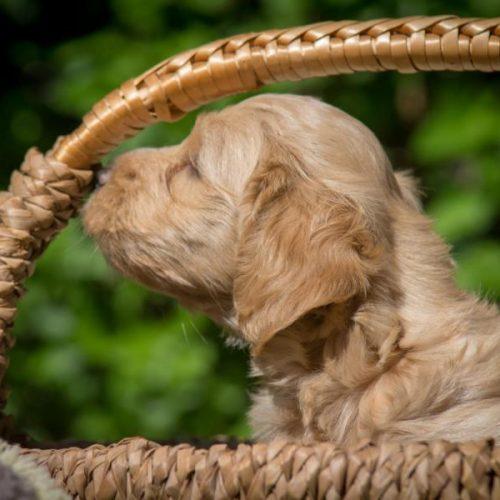 Welpe, Welpenshooting, Hundeshooting, Rot am See, Havaneser, Janina Sanwald Fotografie, Janina Sanwald, Rot am See, Tierfotografie, Tierfotografin